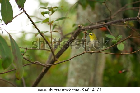 Olive Green Songbird with white around the eyes. - stock photo