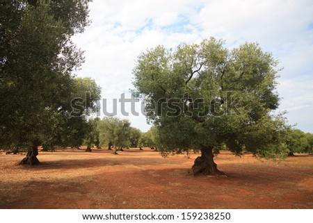 olive grove - stock photo