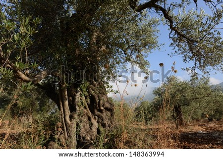 Olive Grove, Galilee Meron Mountain, North Israel - stock photo