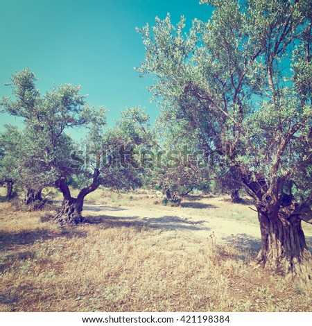 Olive Grove in Israel, Instagram Effect
