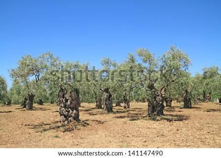 Olive grove in Thassos island, Greece - stock photo