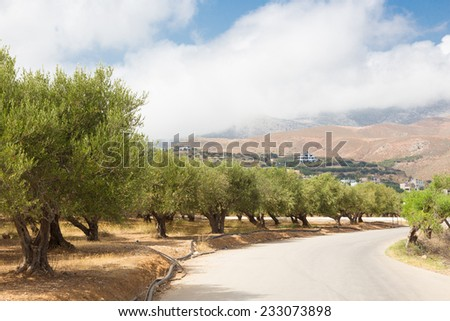 Olive grove on a hot summer day on Crete island, Greece. - stock photo
