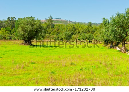 Olive Grove on the Hillside in Portugal - stock photo