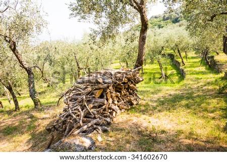 Olive grove seen at Lake Garda in Italy - stock photo