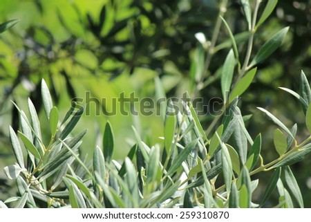 Olive Leaf Branch with soft focus background - stock photo