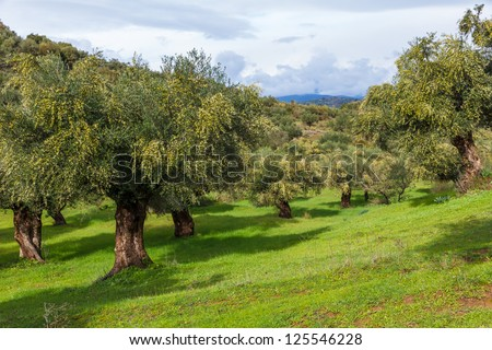 Olive oil trees full with olives in Greece in winter ready for harvest - stock photo