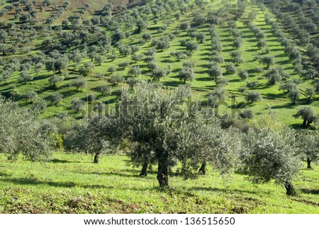 Olive orchards in the Andalusia region of Spain - stock photo