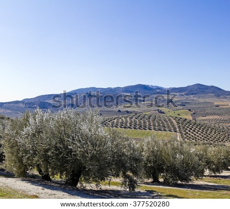 Olive orchards in the Andalusia region of Spain. - stock photo