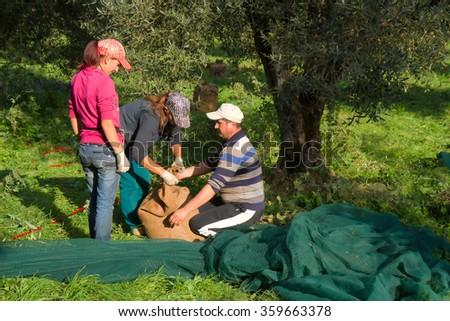 olive picking - stock photo
