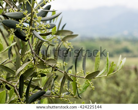 Olive season starting - first buds on olive trees, Lunigiana in north Tuscany, Italy. - stock photo