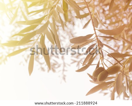 Olive tree branch at warm autumn sunset. - stock photo