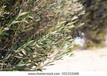 Olive tree branch in the garden. Selective Focus. Beautiful horizontal photo background with soft sunny light - stock photo