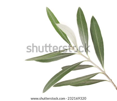 olive tree branch on white background