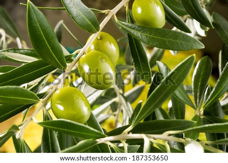 olive tree branch with green olives - stock photo