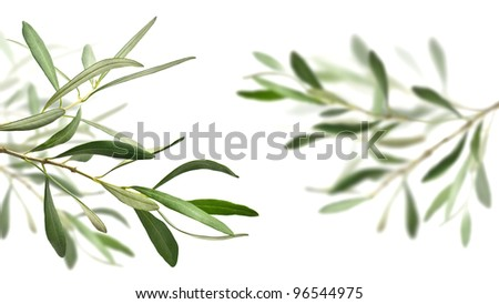 olive tree branches isolated over white, the right one is blurry - stock photo