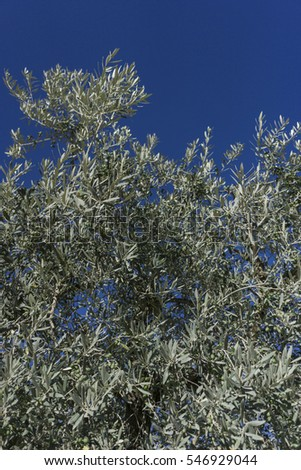 Olive tree branches over blue sky