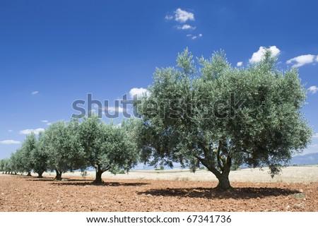 Olive tree, from Provence. - stock photo