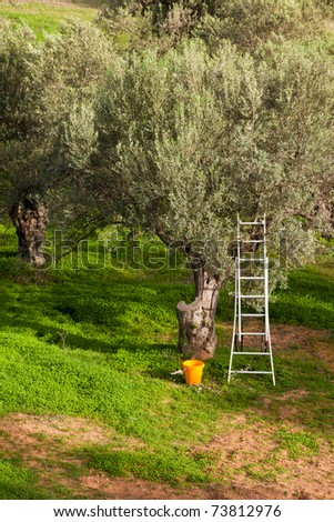 Olive tree garden being harvested: metal ladder leaning in olive tree (Olea europaea) with bucket at the bottom. - stock photo
