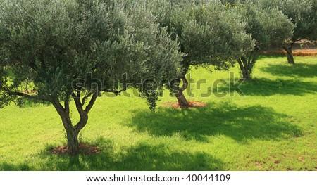 olive tree - greece - stock photo