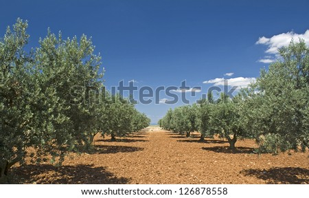 Olive tree, grove in Provence. France. - stock photo
