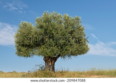 Olive Tree growing on a hillside - stock photo