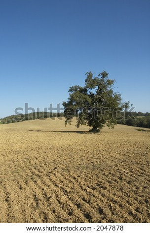 olive tree in a field - typical tuscan landscape