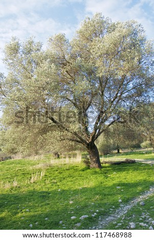 Olive tree in a Landscape in the south of Crete shortly before harvest in the winter - stock photo