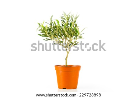 olive tree in a pot - stock photo