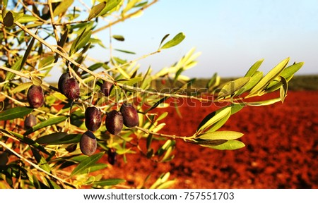 Olive tree in Portugal, harvesting time, sunset