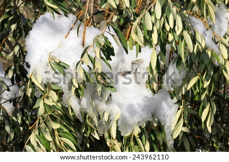 Olive tree in snow - stock photo
