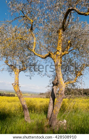 Olive tree in spring field, Tuscany, Italy