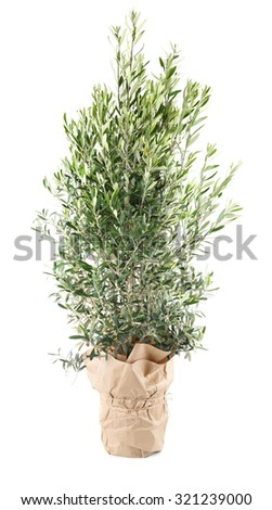 Olive tree in the pot with wrapping paper - stock photo