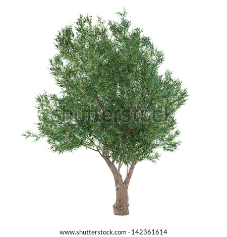 Olive Tree isolated. Olea europaea