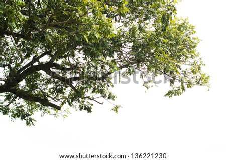 Olive tree isolated on white background - stock photo