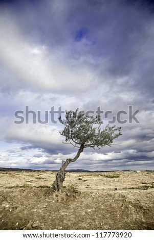 Olive tree, nature, detail in the foreground tree, agriculture - stock photo