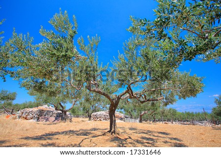 Olive tree orchard on the island of  Brac, Croatia - stock photo