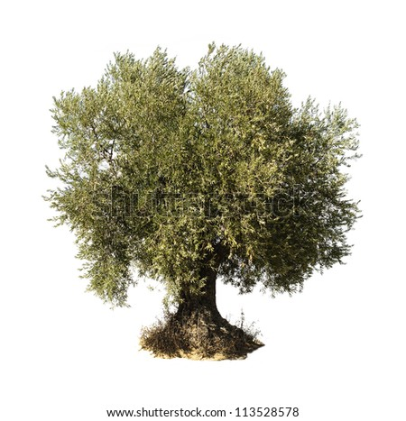 Olive tree white isolated. - stock photo