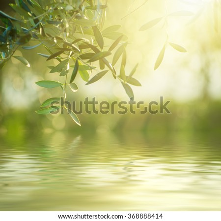 Olive tree with leaves, natural sunny agricultural food  background with water reflection - stock photo