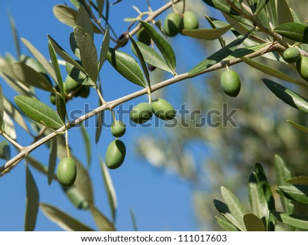 Olive tree with many colorful fruits