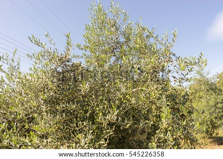 Olive tree with ripe fruits
