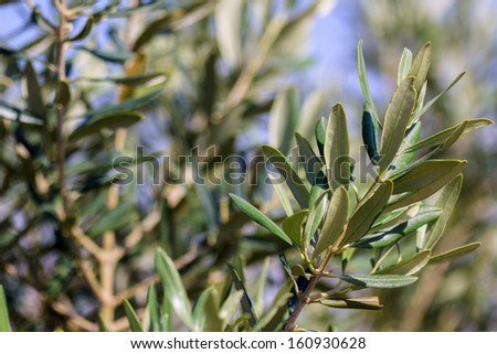 Olive tree with small leaves on a blurred background - stock photo