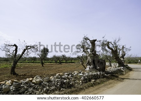 Olive trees and stone wall.