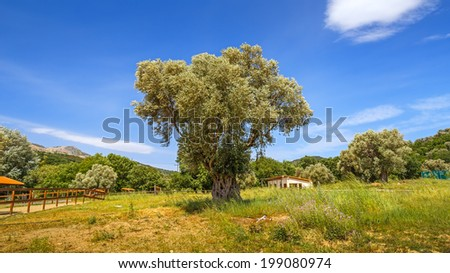 Olive trees, Crete, Greece - stock photo