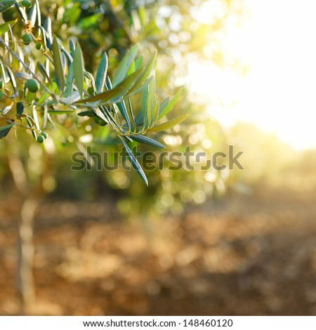 Olive trees garden, mediterranean olive field ready for harvest. - stock photo