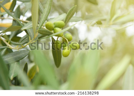 Olive trees garden, mediterranean olive field ready for harvest. Toned. - stock photo