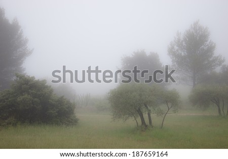 Olive Trees in a fog. Mistral wind blows in Provence (France). Blur. - stock photo