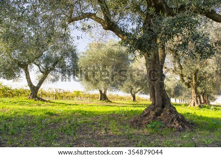 olive trees  in Italy - stock photo