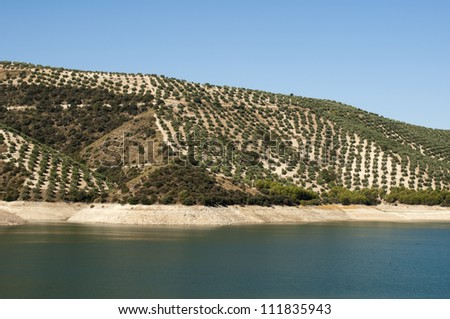 Olive trees in plantation. Rows of trees