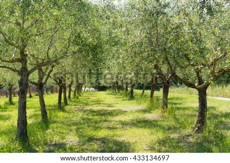 Olive trees in Romagna countryside - Travel in Italy