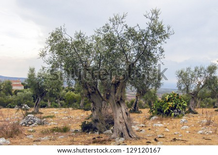 olive trees in the countryside of Apulia